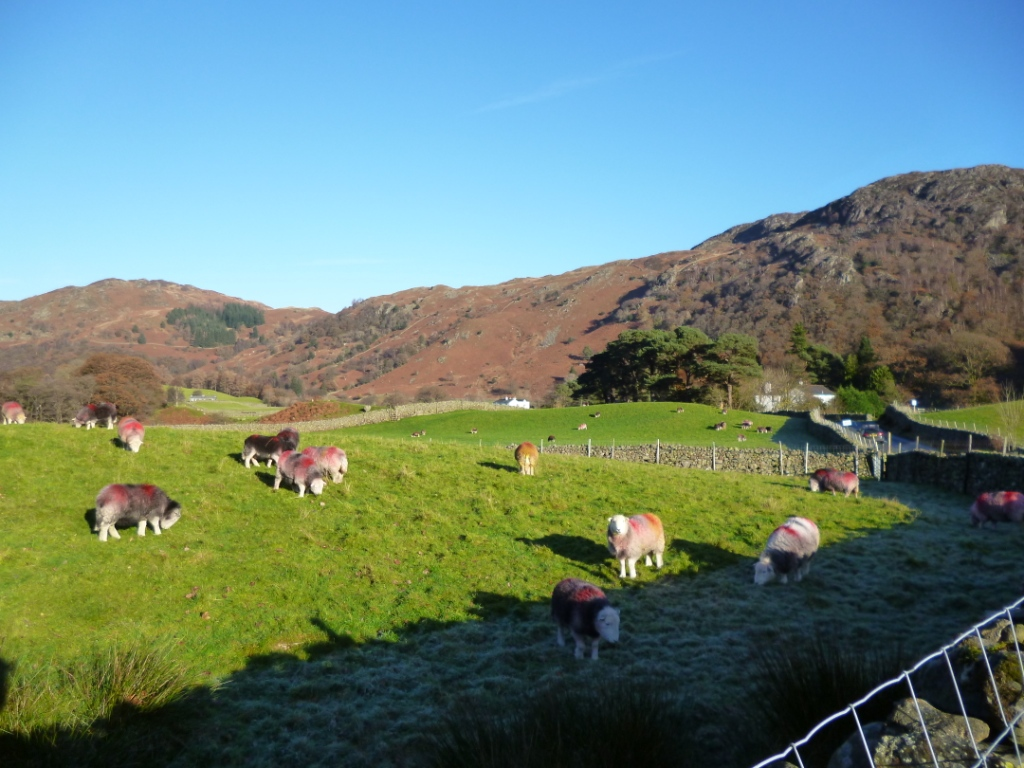 Herdwicks in Borrowdale